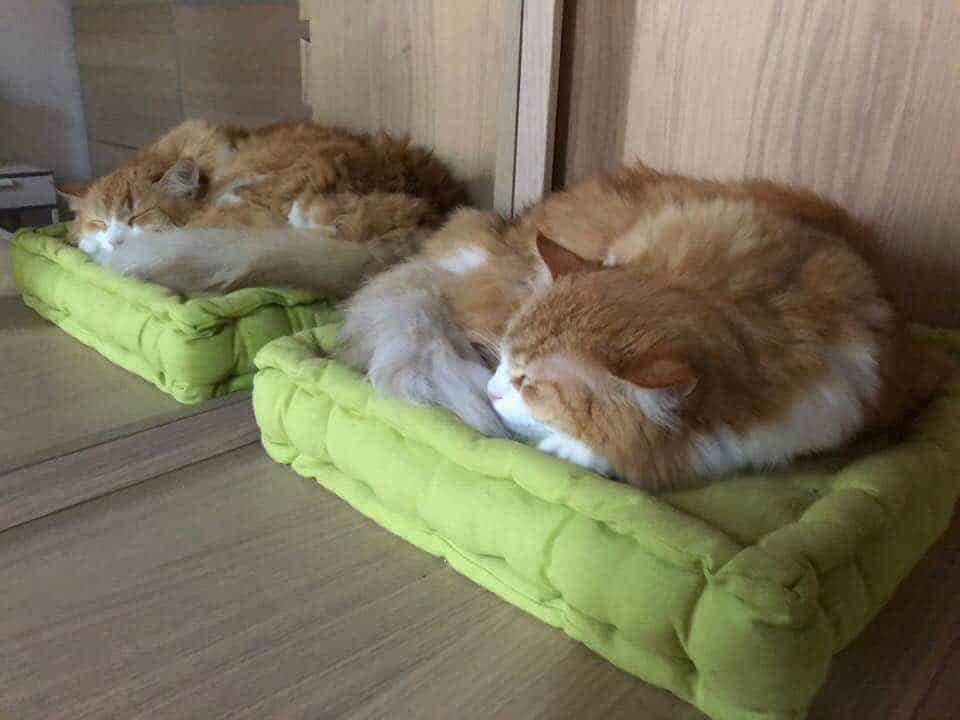 Ginger sul cuscino specchiato