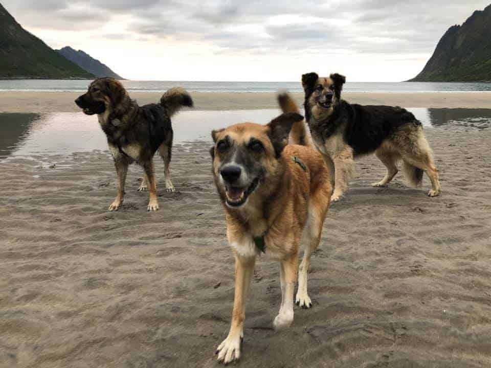 I tre cani sulla spiaggia in Norvegia