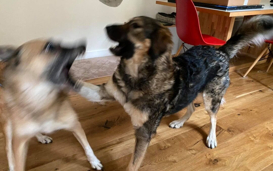 Comunicazione tra due cani